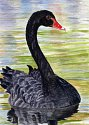 Jennifer Ball: Black Swan