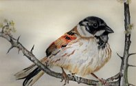 Jennifer Ball: Reed Bunting